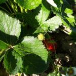 Erdbeeren_17-1