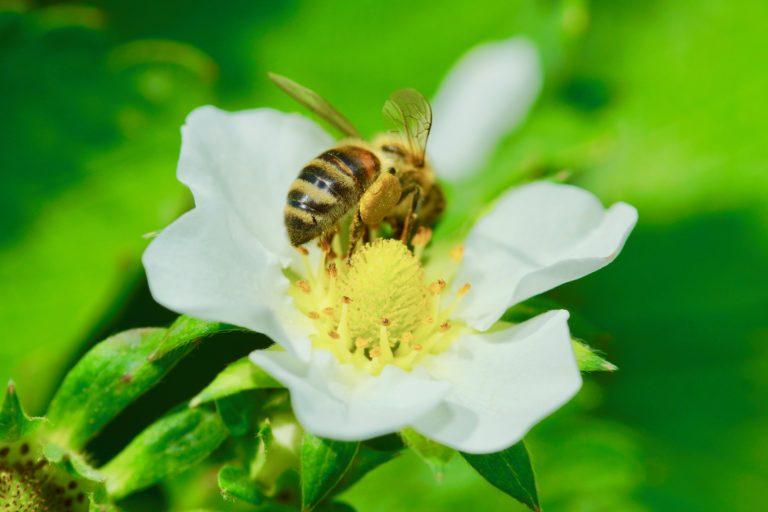 Biene auf Erdbeerblüte
